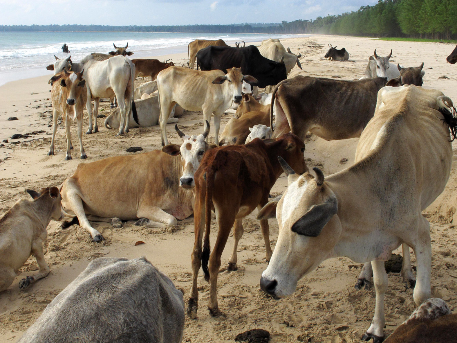 foto van heilige koeien op het strand