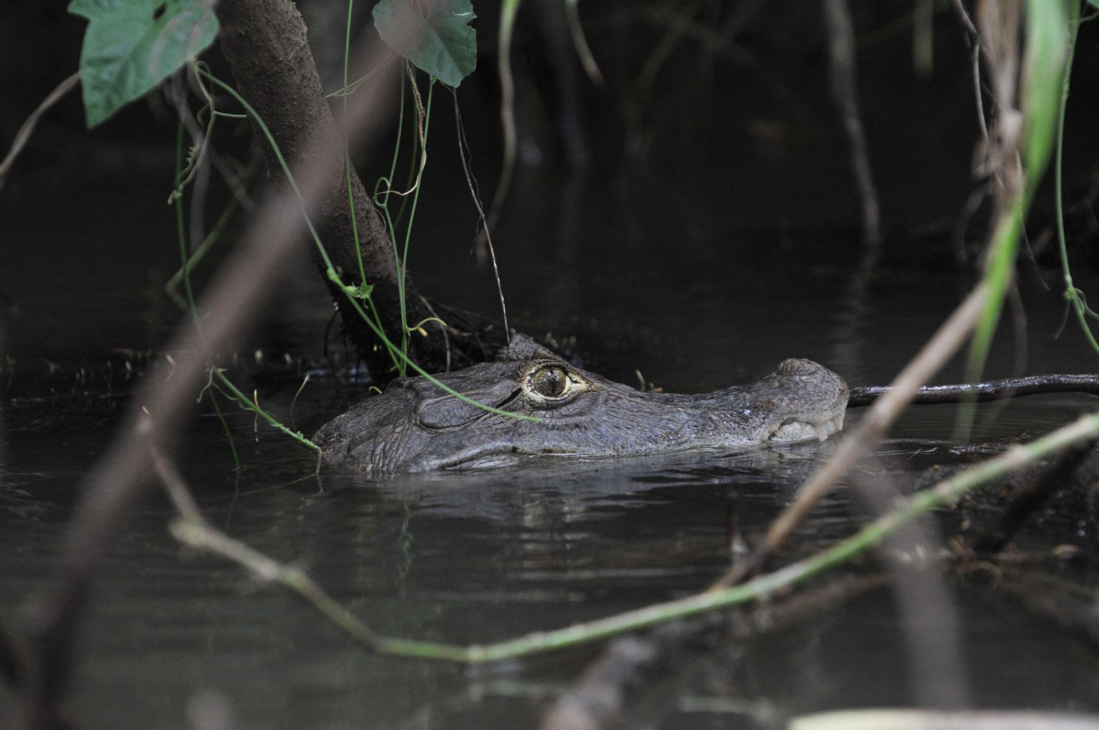 foto van de kop van een alligator met zijn kop half onder water