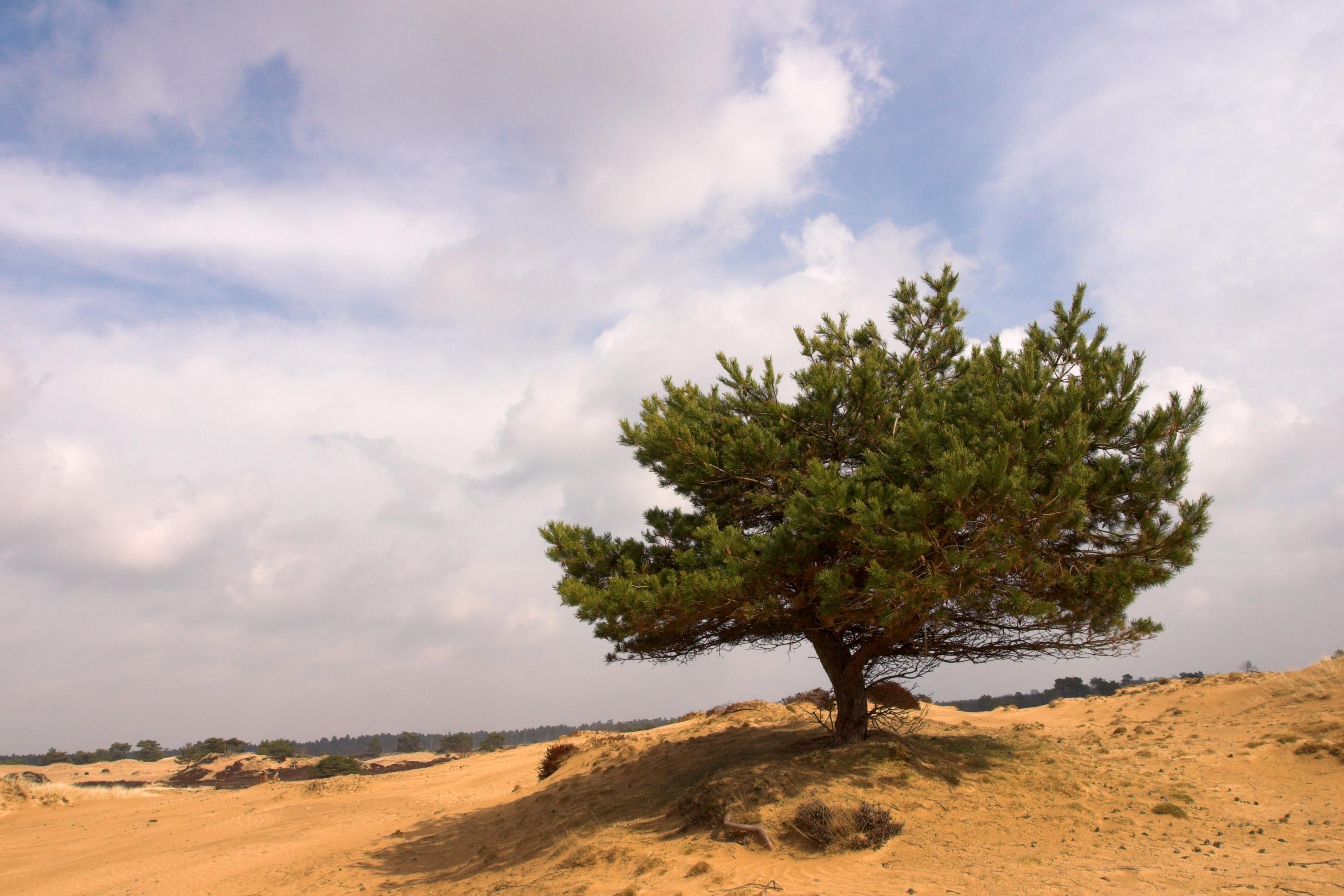 foto van een boom op een zanderige grond in duinachtig gebied