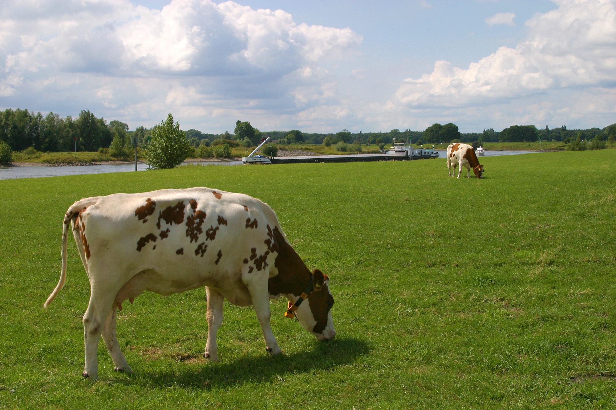 foto van twee koeien in wei, eentje dichtbij en de ander iets verder weg, in de verte een rijnaak op rivier