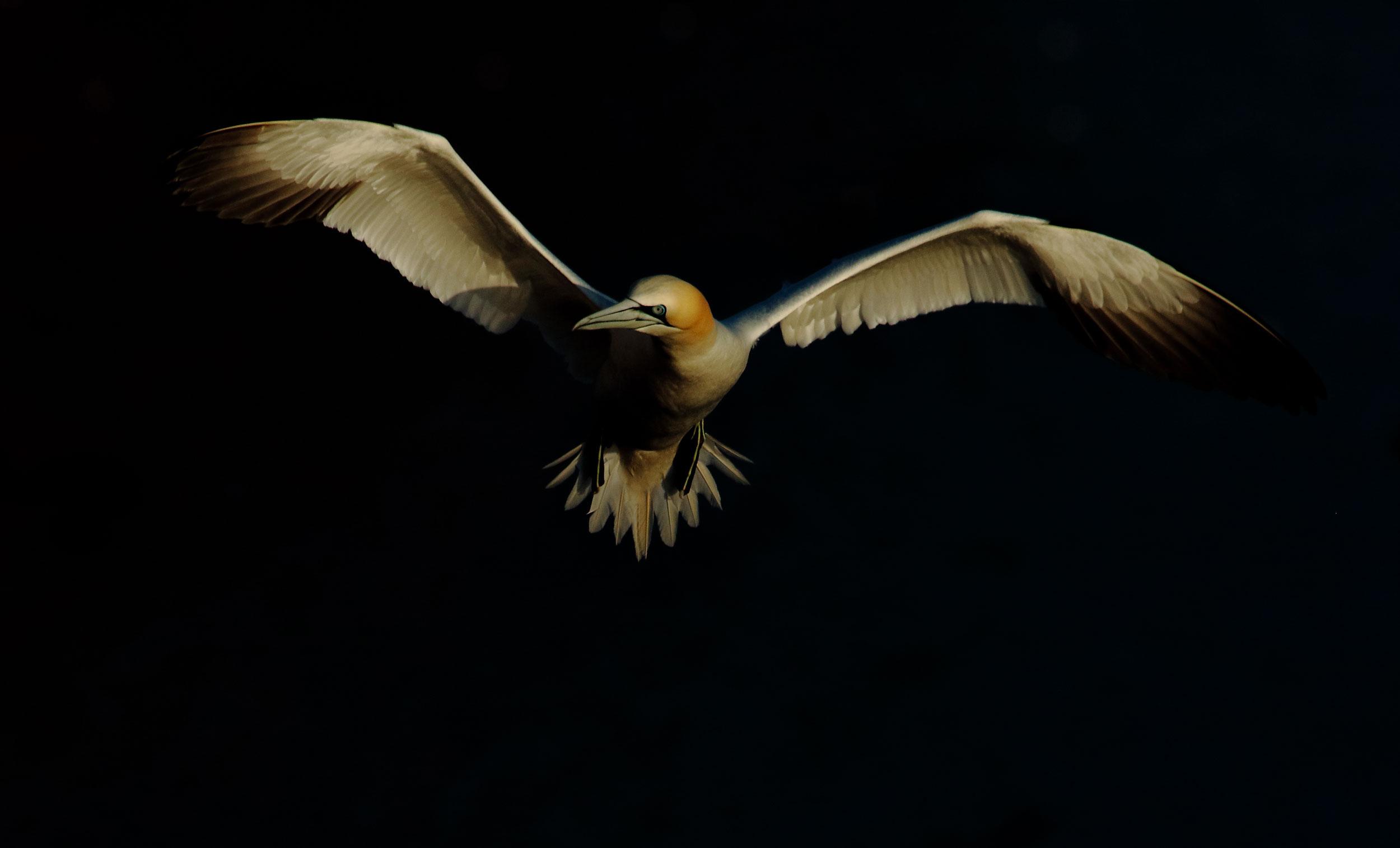 foto van een Jan van Gent vliegend in zwarte achtergrond