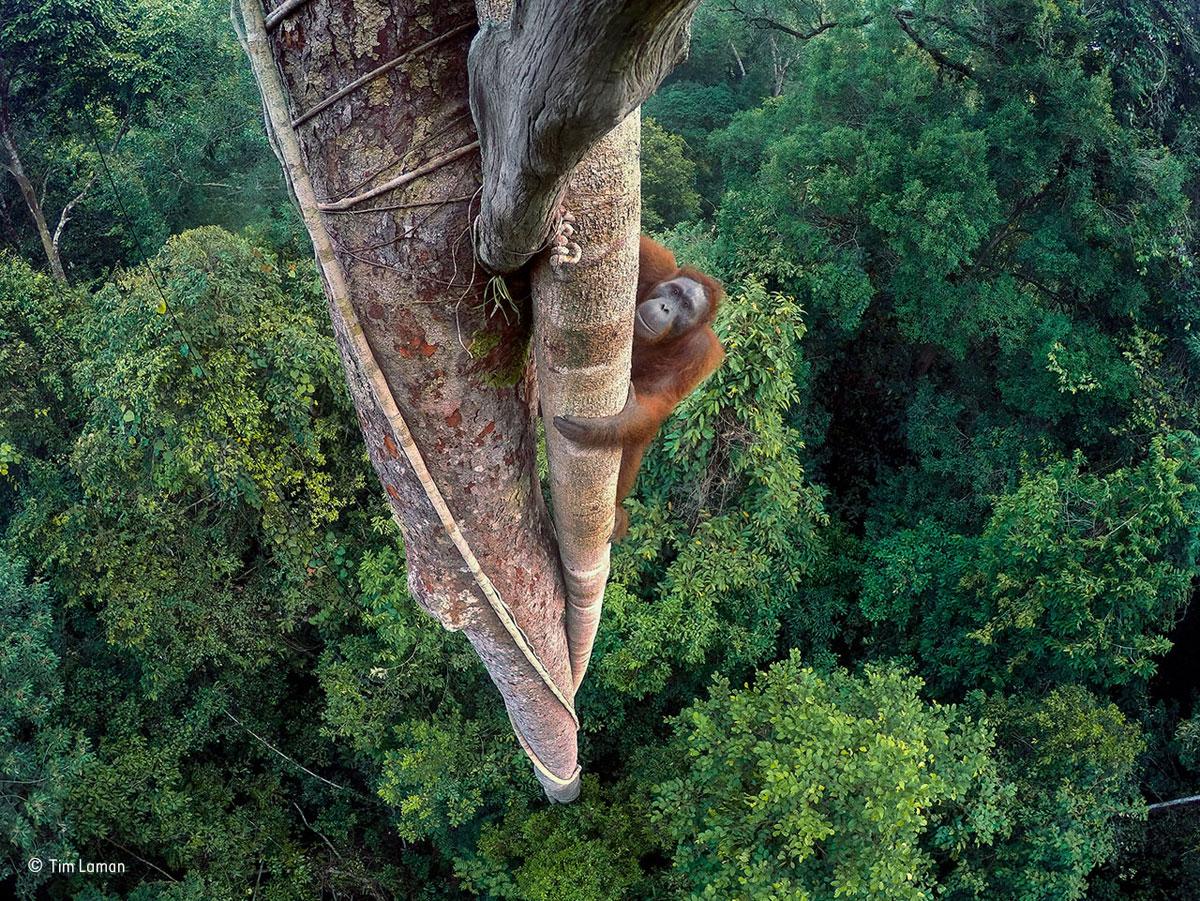foto door Tim Laman van een oerang oetan die in boom wil klimmen