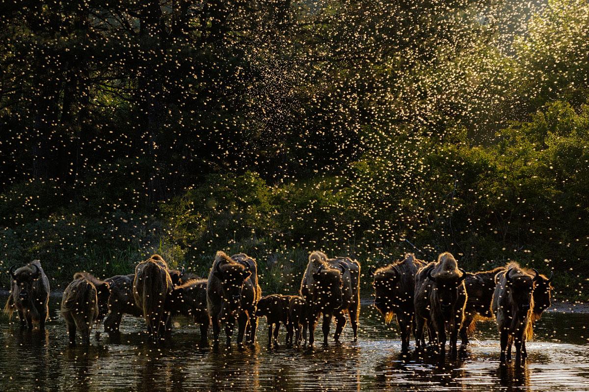 foto van bisons van Jasper Doest