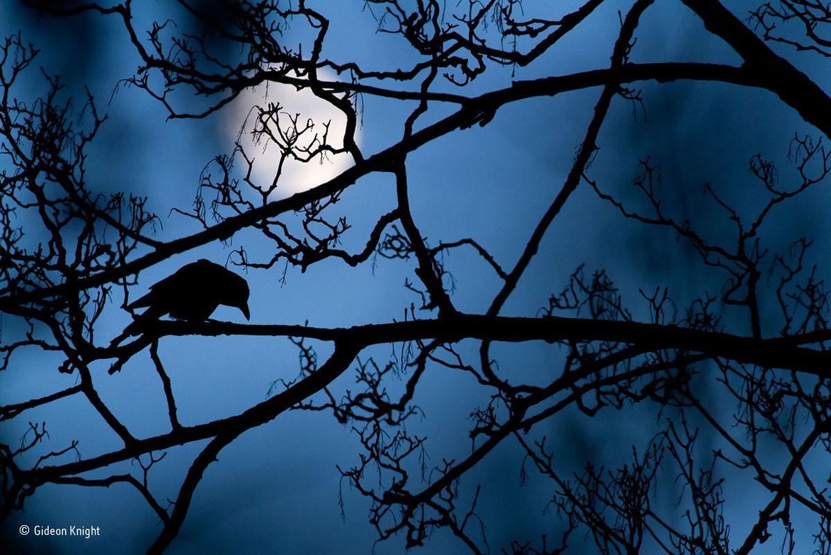 foto van vogel op tak in silhouet met blauwe lucht en de volle maan erachter