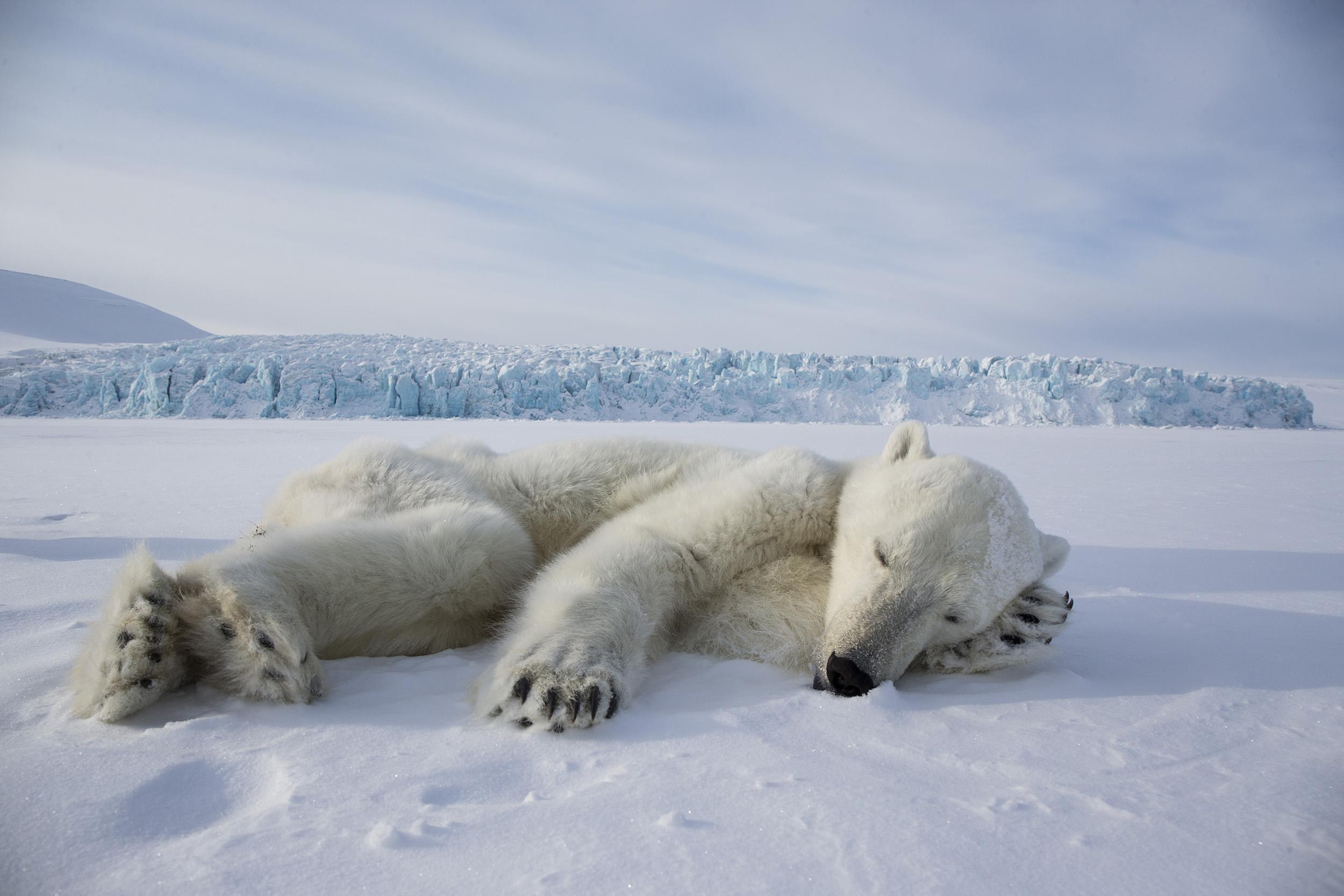 foto van een ijsbeer in de sneeuw liggend