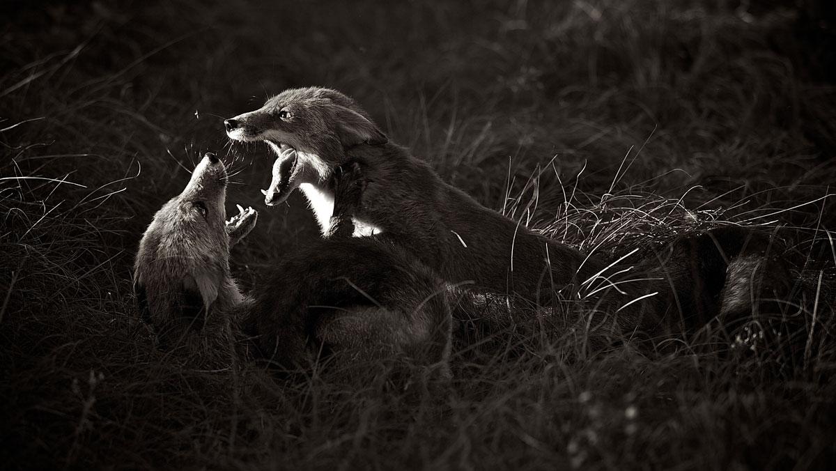 zwartwitfoto van twee vechtende vossen in het bos