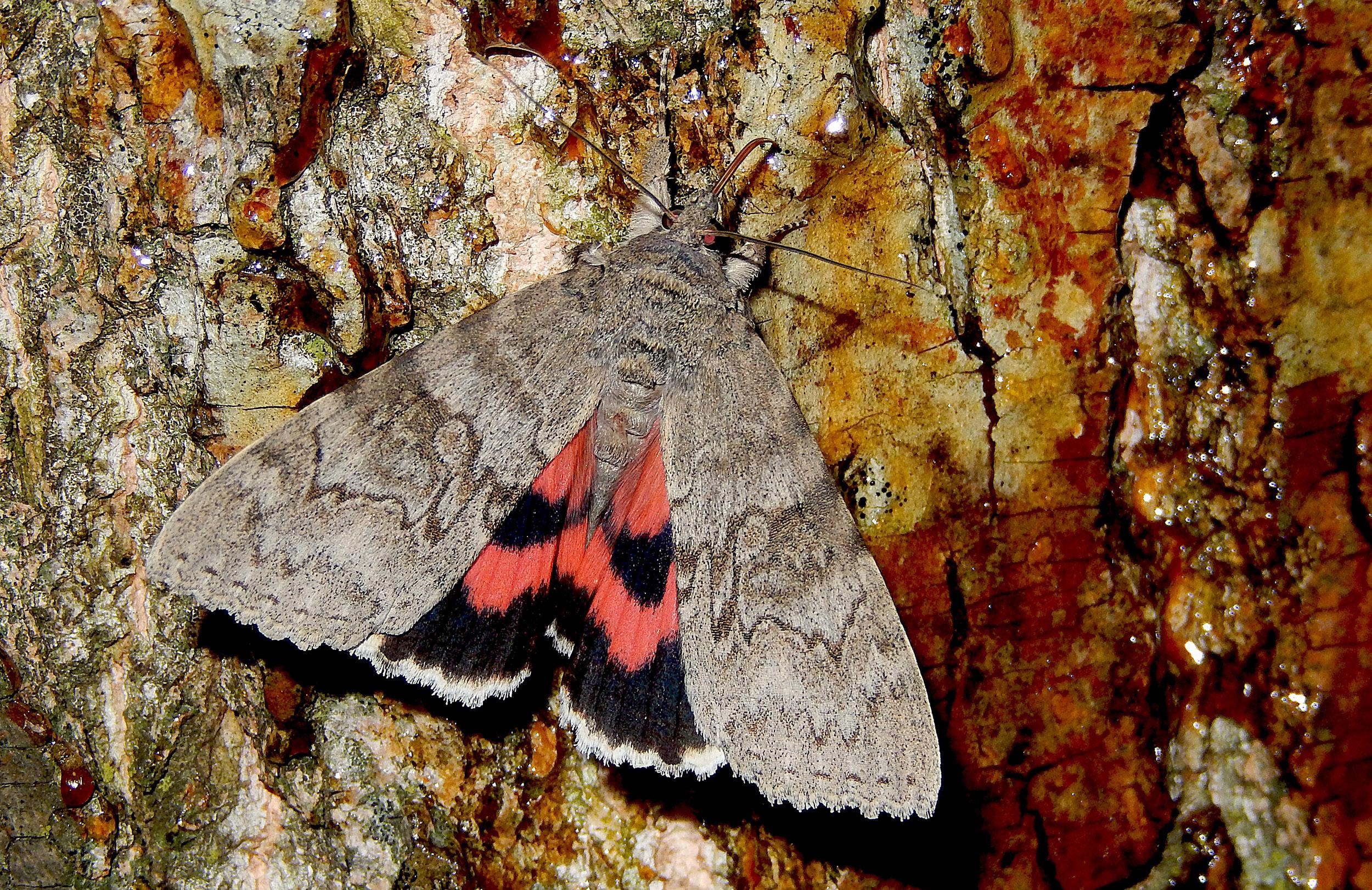 foto van roodweeskind vlinder