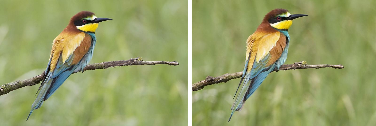 twee foto's van een bijeneter, links zonder BetterBeamer, rechts met BetterBeamer