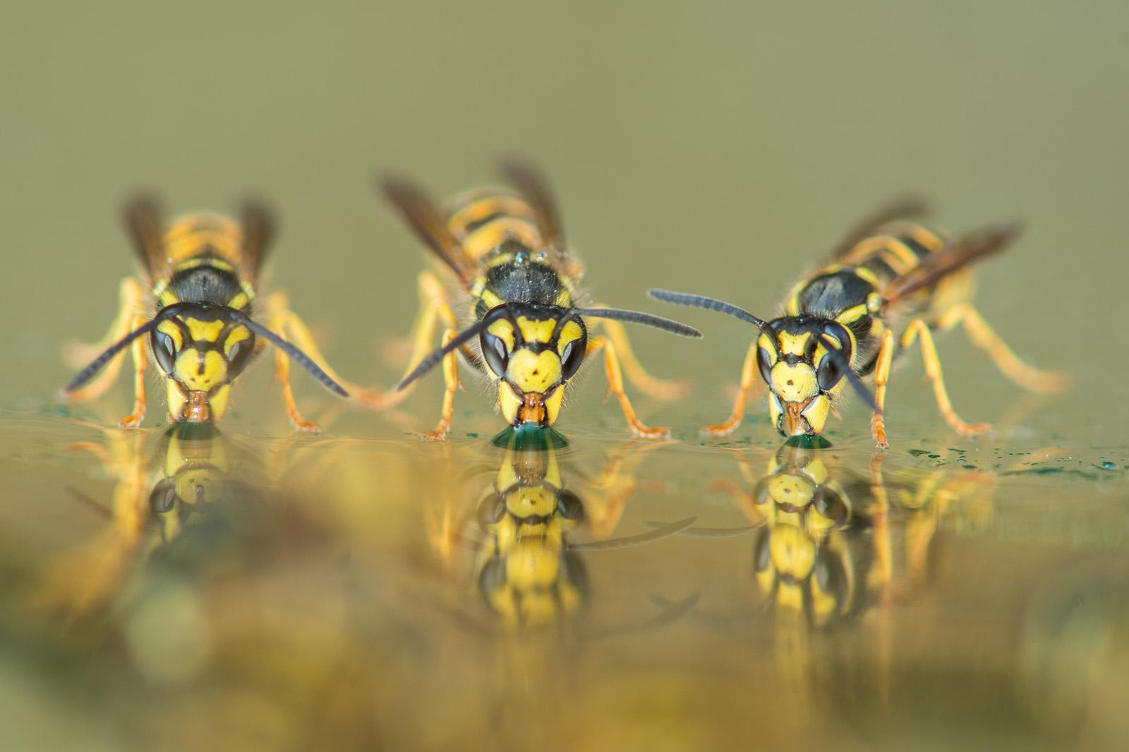 foto van drie wespen close die drinken van water
