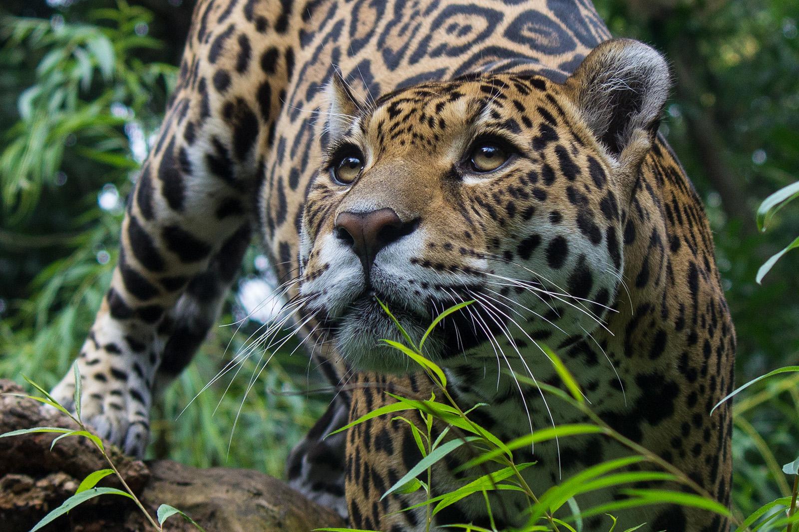 foto van tijger dichtbij