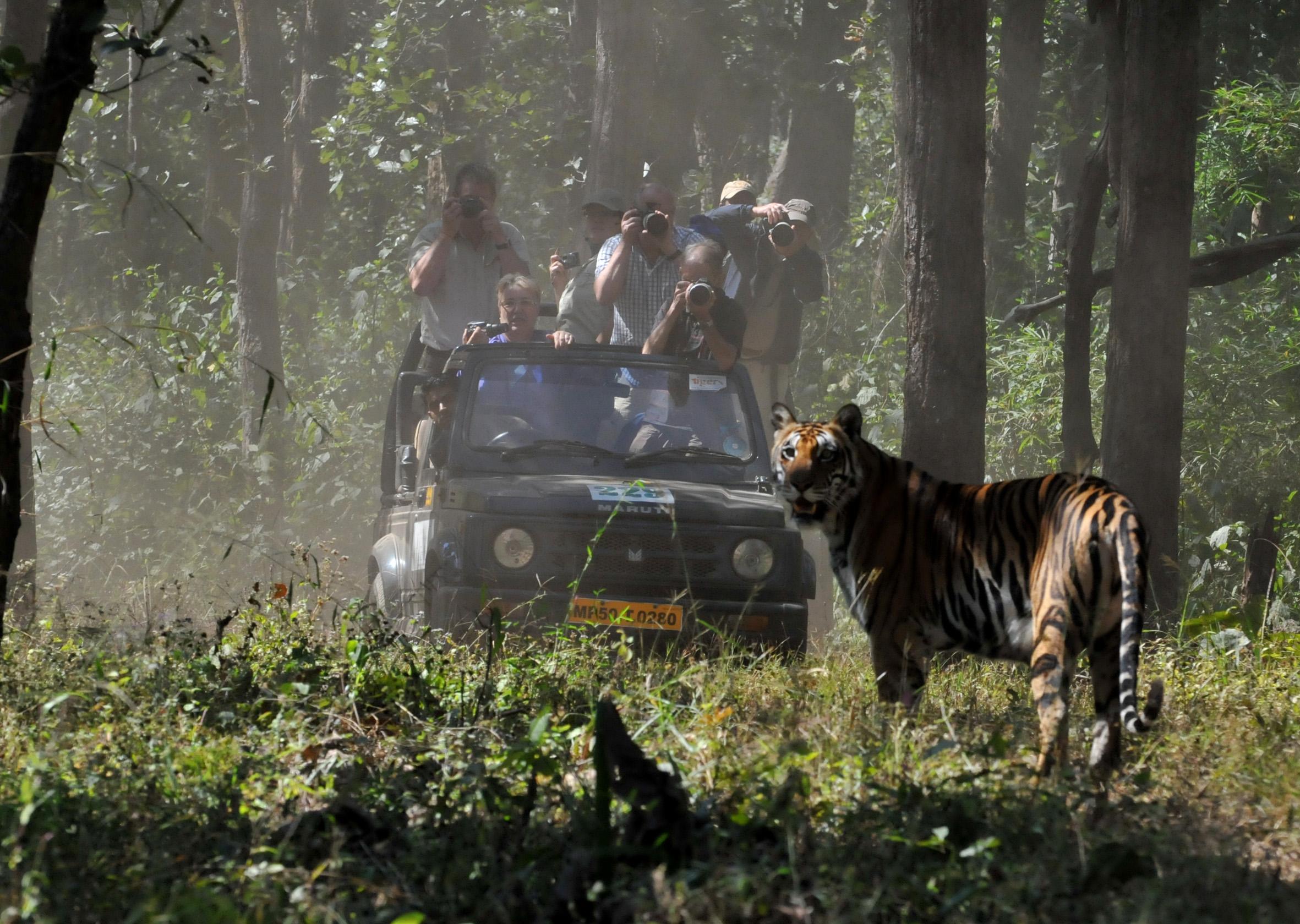 foto van tijger die in camera kijkt en daarachter een jeep met fotografen
