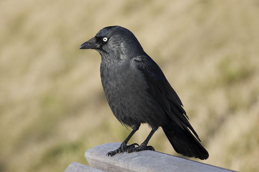 foto van zwarte vogel op rand van houten bank met vage beige achtergrong