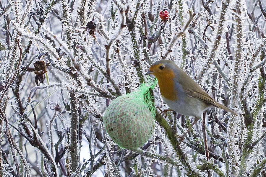 foto van roodborst op besneeuwde takken met groen netje met vet