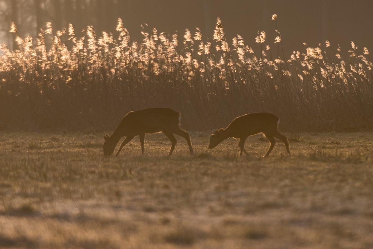 foto van twee herten in ochtendzon aan het grazen