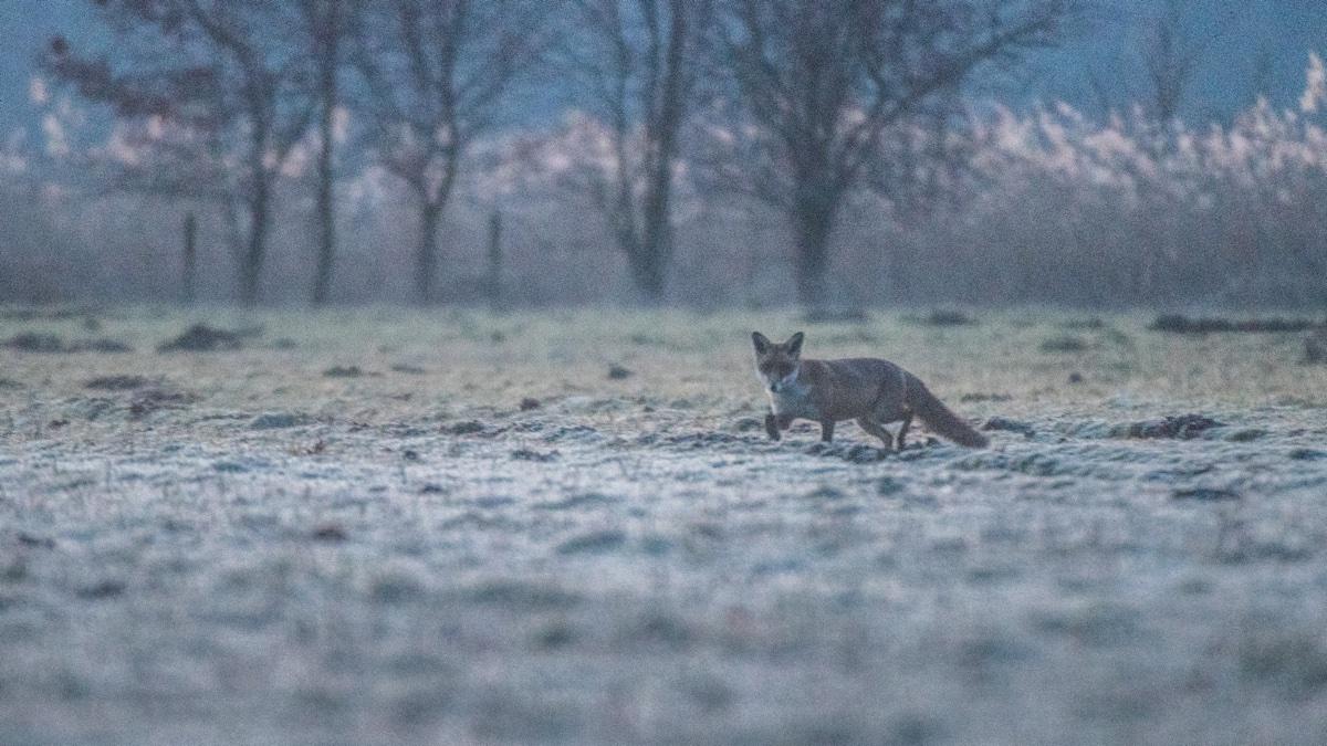 foto van vos op weide, bomen vaag erachter
