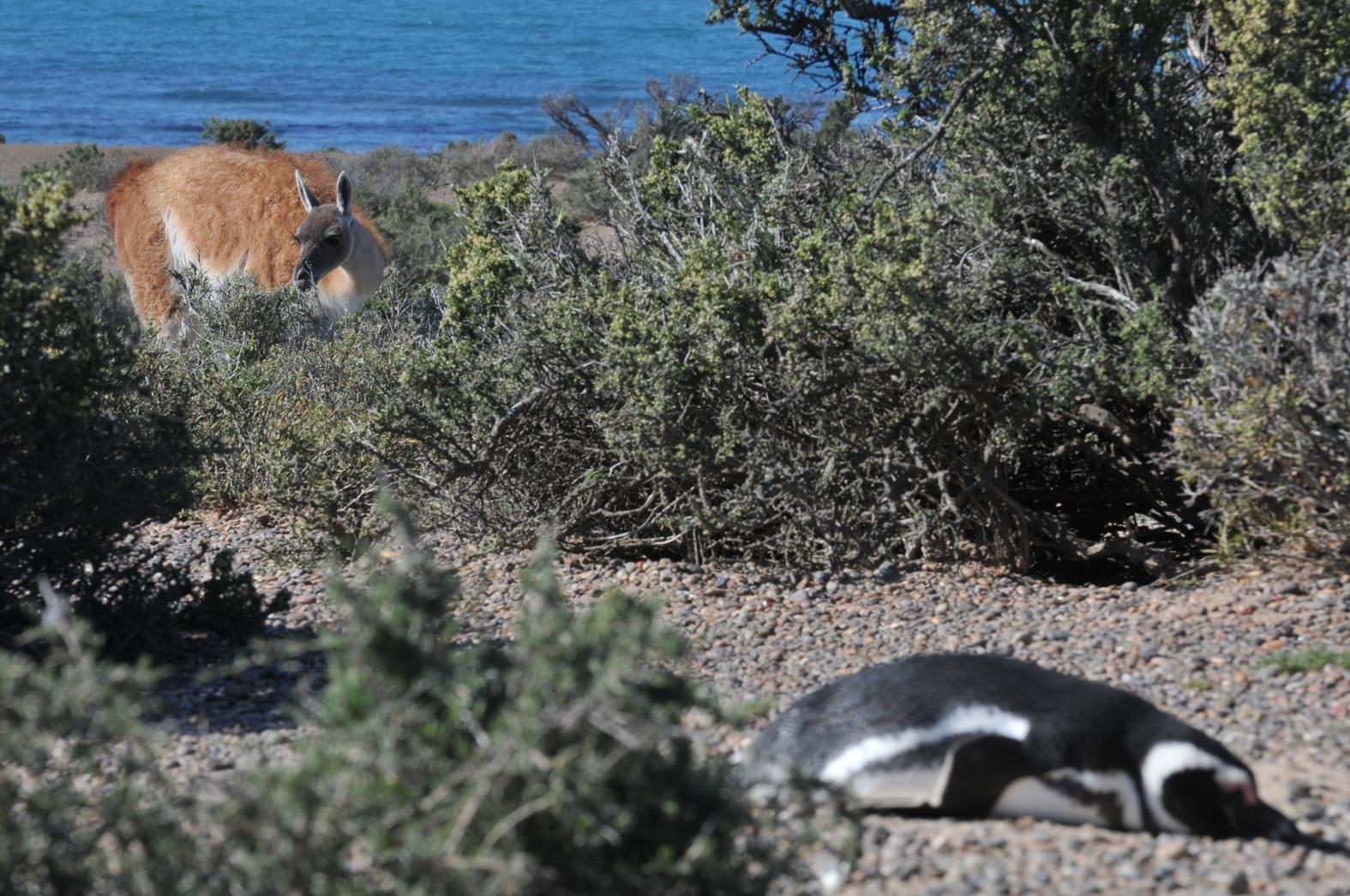 foto: © Tom van der Leij | Bij Punta Tombo komen de pinguins het water uit en vallen vrijwel direct in slaap.