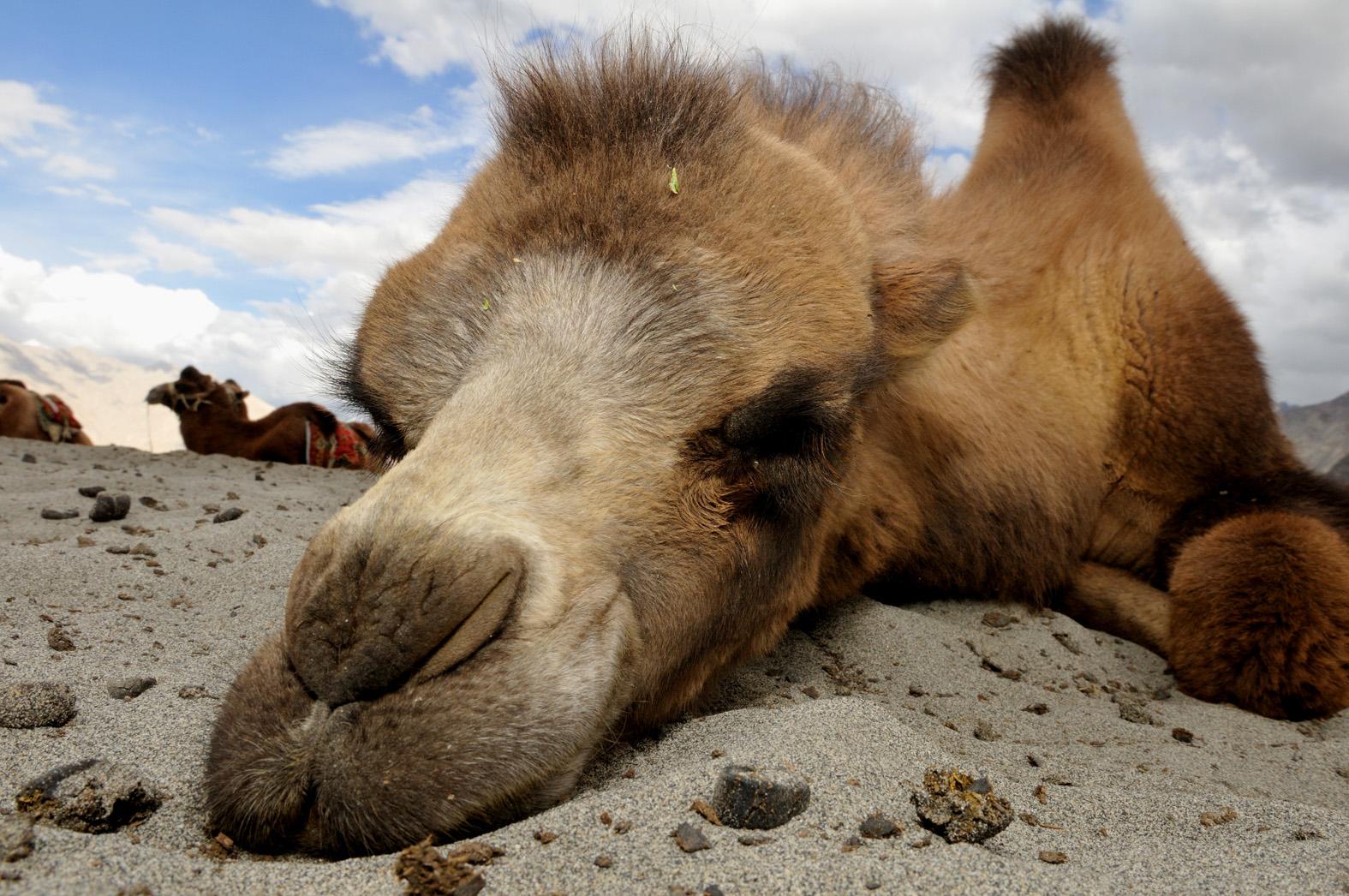 foto van kameel van dichtbij met kop op de grond liggend