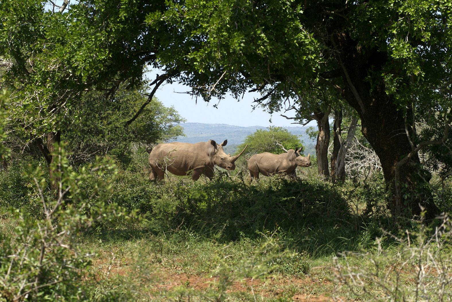foto: Tom van der Leij van neushoorns in bos Zuid-Afrika
