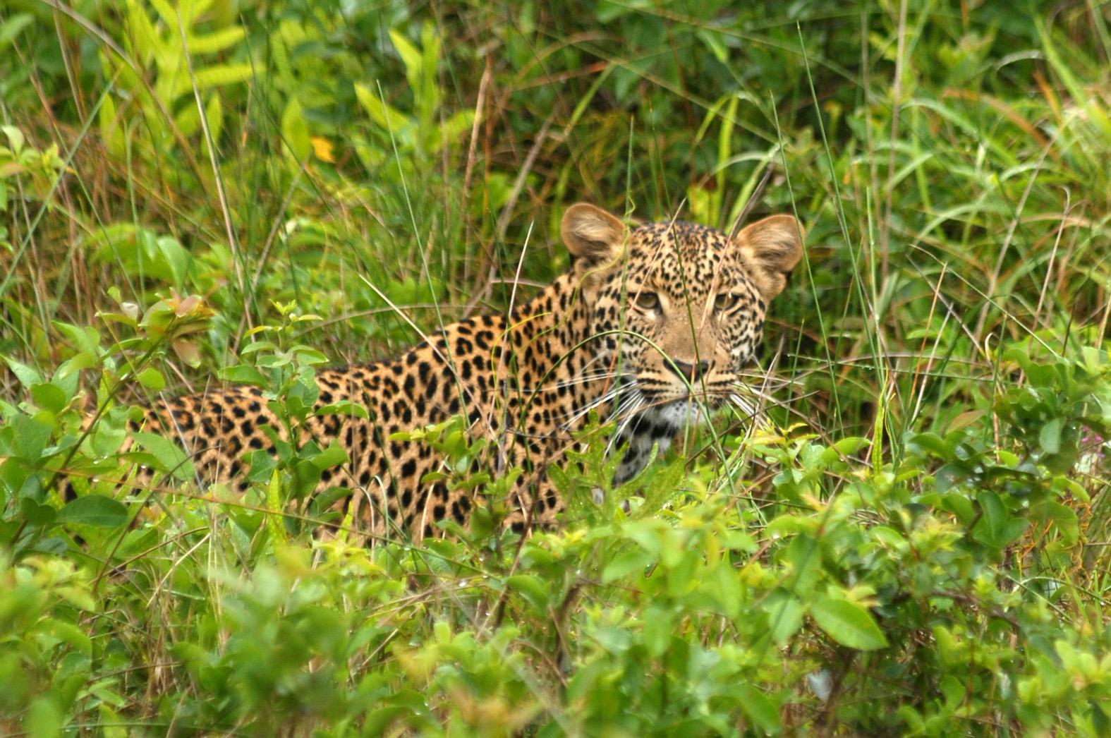 foto: Tom van der Leij van tijger in groen in Zuid-Afrika