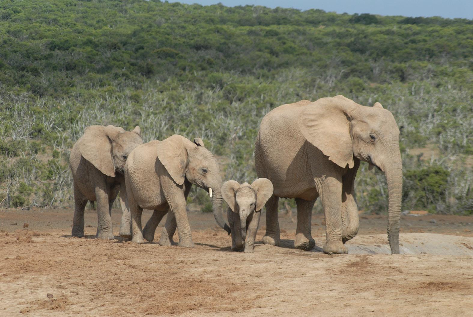 foto: Tom van der Leij van olifanten in Zuid-Afrika