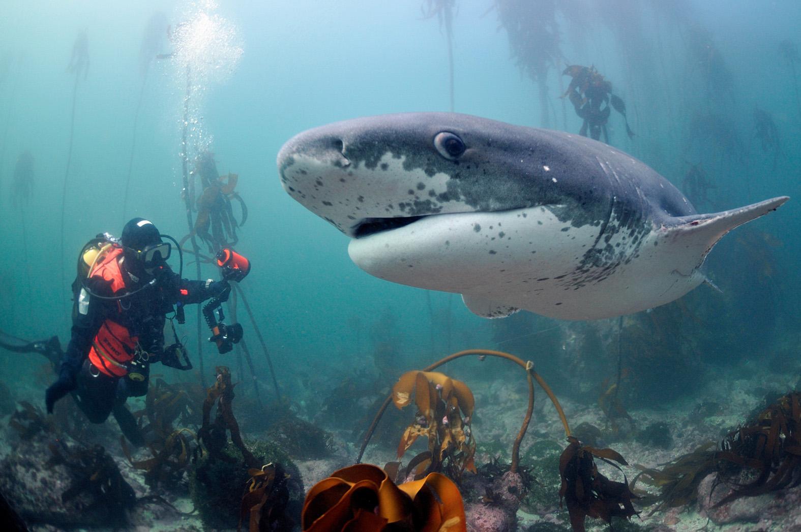 foto van reuzenhaai onderwater met duikers