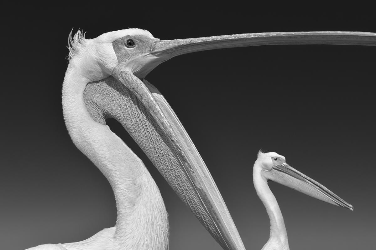 foto van pelikanenkop met open bek en in die driehoek ook een pelikanenkop