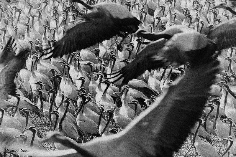 zwart-wit foto laat de geordende schoonheid van de kraanvogels van Khichan zien, door Jasper Doest