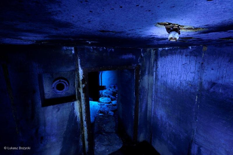 foto van Łukasz Bożycki toont een eenzame vleermuis in een vernietigde Duitse WOII bunker in een afgelegen bos in Polen in de winter.
