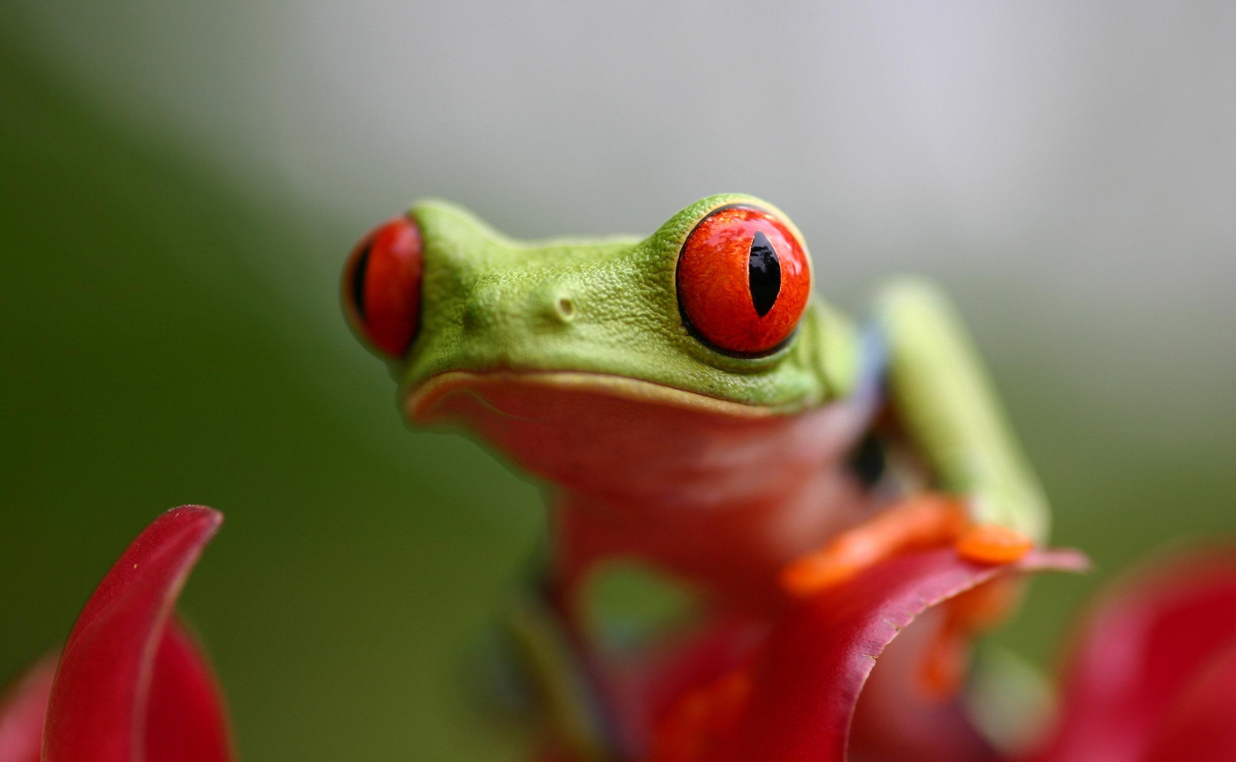 macro foto van een groene kikker met grote rode ogen