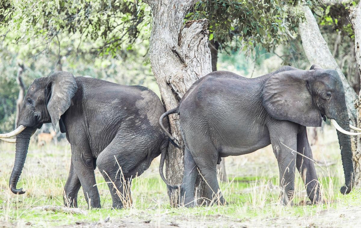foto van twee olifanten die hun achterwerk tegen elkaar aan duwen