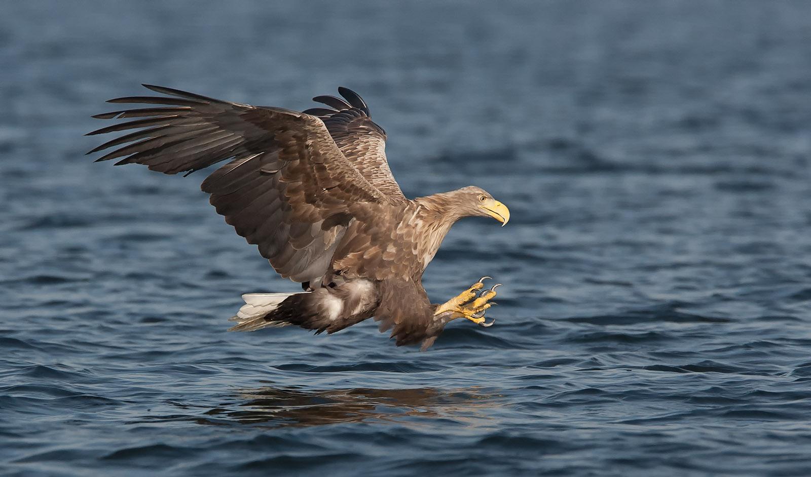 foto van een zeearend boven het water met poten naar voren