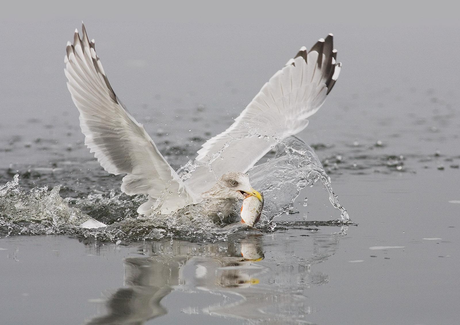 foto: Jan Duker | Zilvermeeuw in actie met vis in bek in water