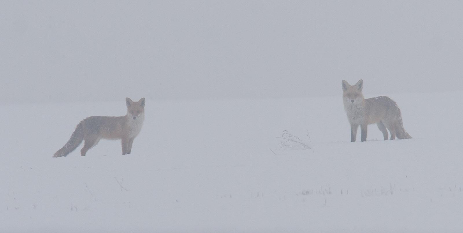 wazige foto van twee vossen in de sneeuw