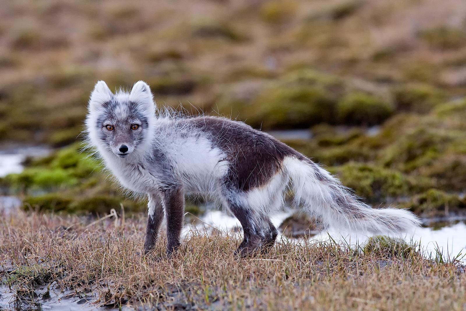 foto: Jan Duker | Poolvos op Spitsbergen