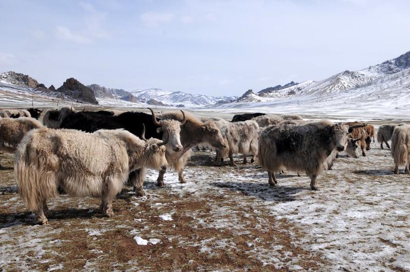 © Tom van der Leij | Mongolië yaks
