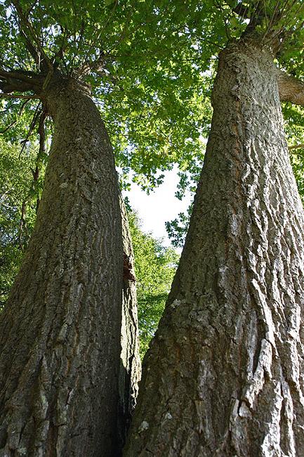 foto: Aaldrik Pot, twee bomen groen van onderaf genomen