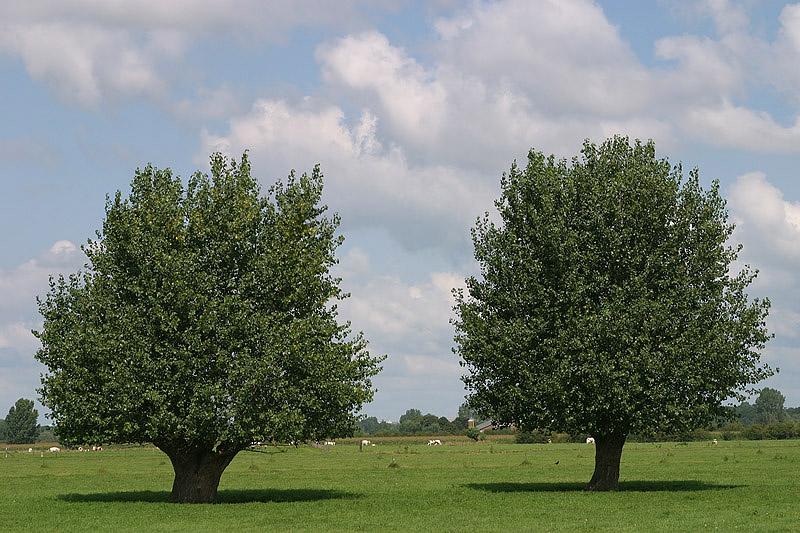 foto: Aaldrik Pot, twee bomen groen in graslandschap