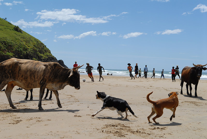 Zuid-Afrika - Wild Coast, strand met runderen en honden en voetballende mensen