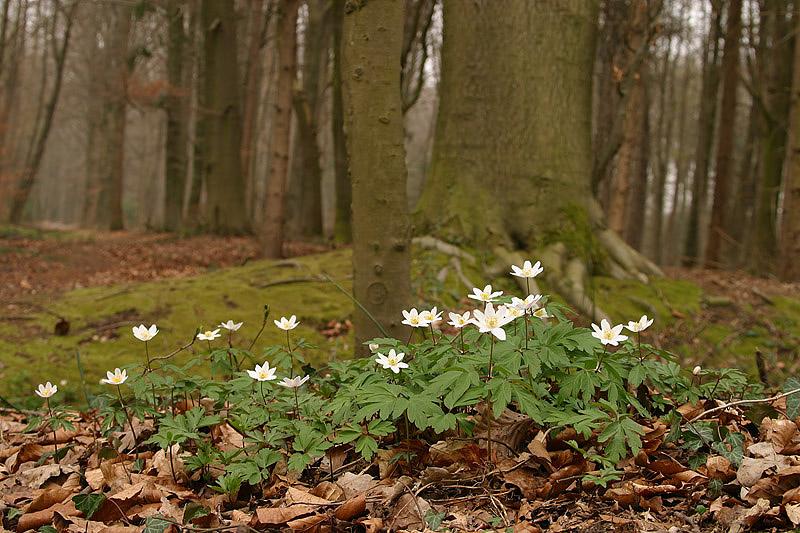 foto: Aaldrik Pot | De bosanemoon is van de vele kenmerkende planten van bossen op lemige gronden.