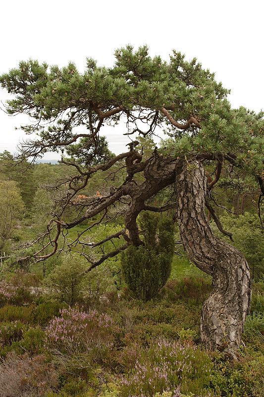 foto: Aaldrik Pot | Weer en wind kunnen veel invloed hebben op de vorm van bomen