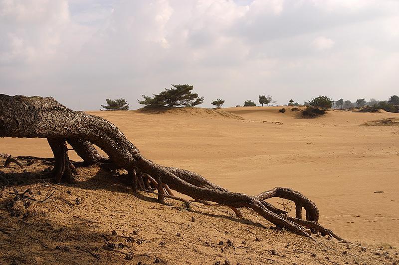 foto: Aaldrik Pot | De wortels van een boom mooi blootgelegdop een zandvlakte