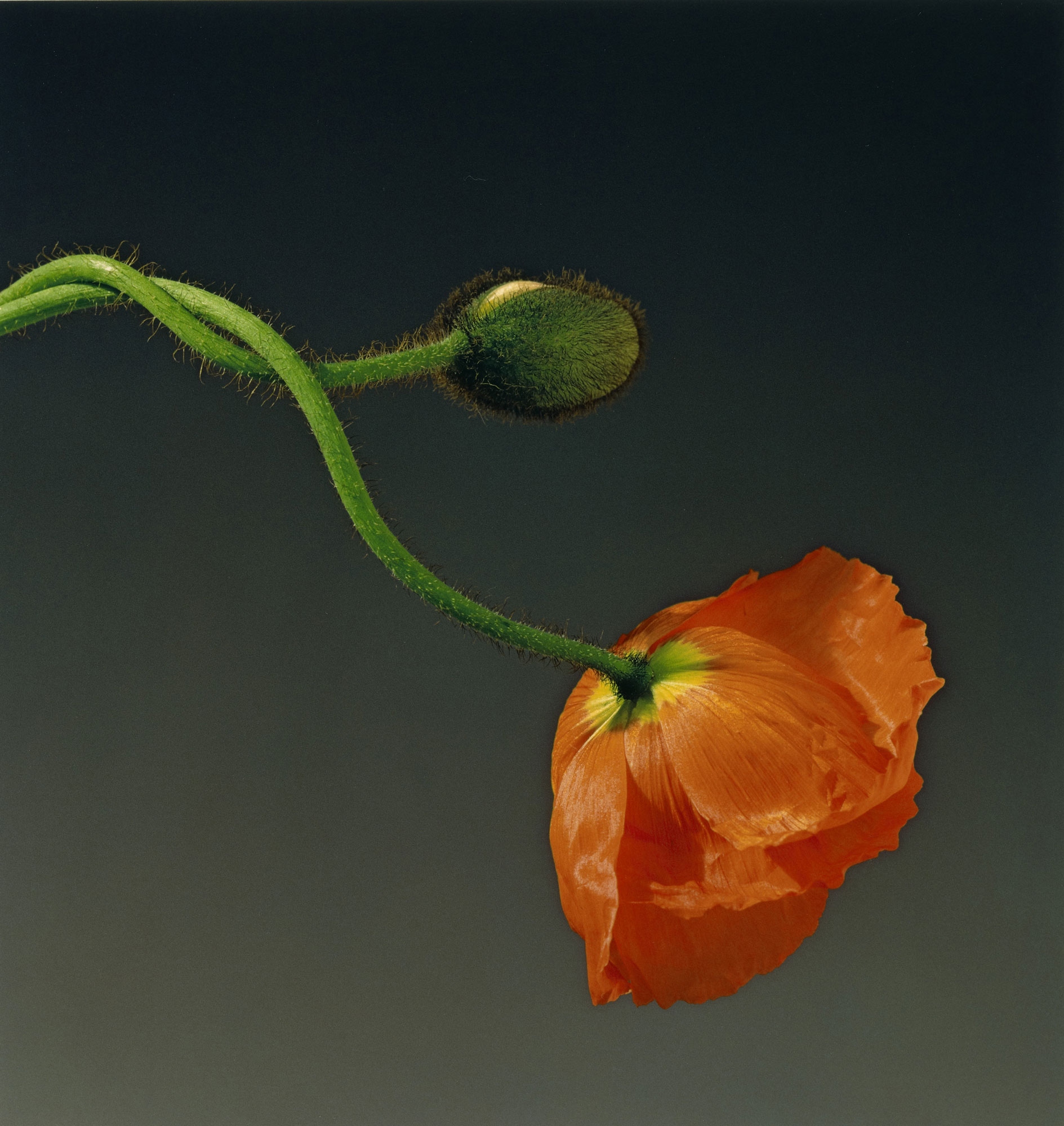foto: Robert Mapplethorpe - Poppy (1988)