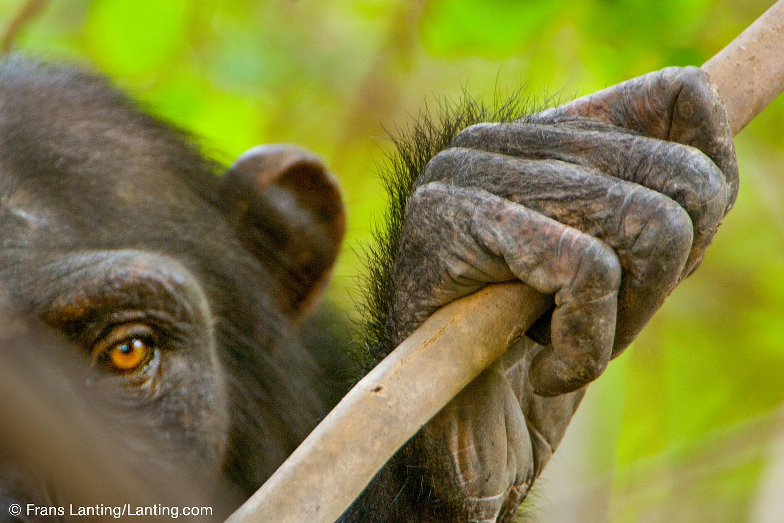 chimpansee Frans Lanting