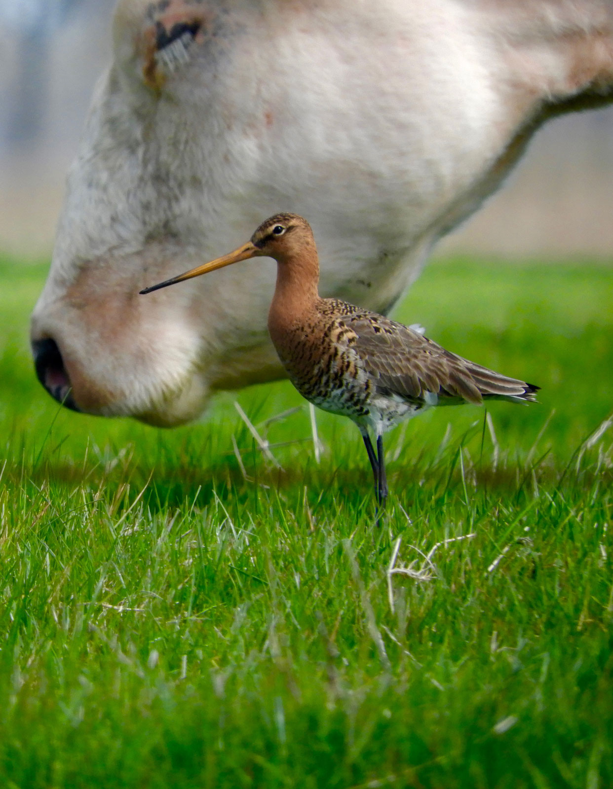 foto: Arthur Floren- categorie DIER, vogel naast koeienkop