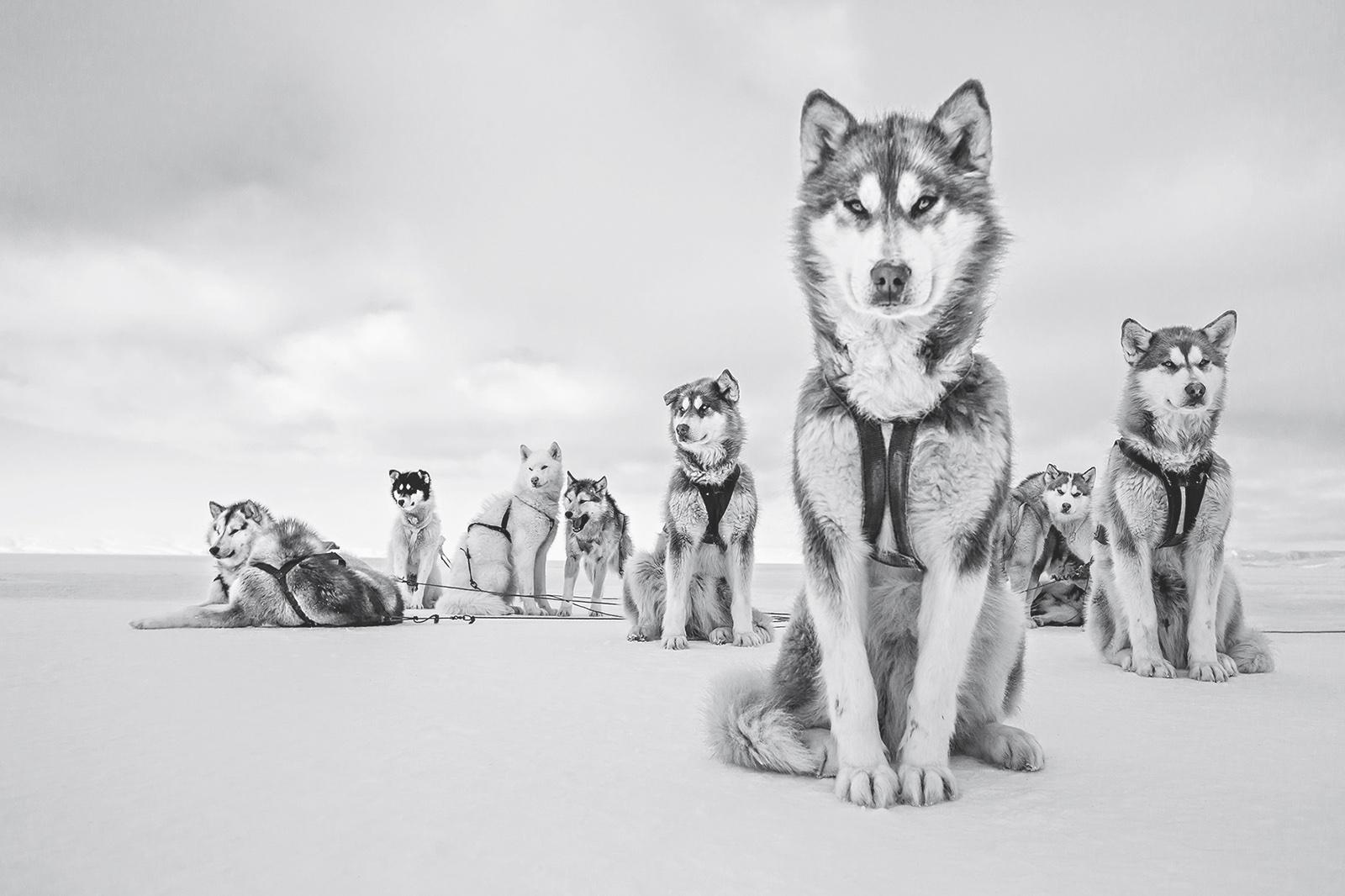 foto: © 2018 Cristina Mittermeier. All rights reserved. www.sealegacy.org - Alpha Dog, Greenlandic Huskies, Thule, Greenland, April 2015