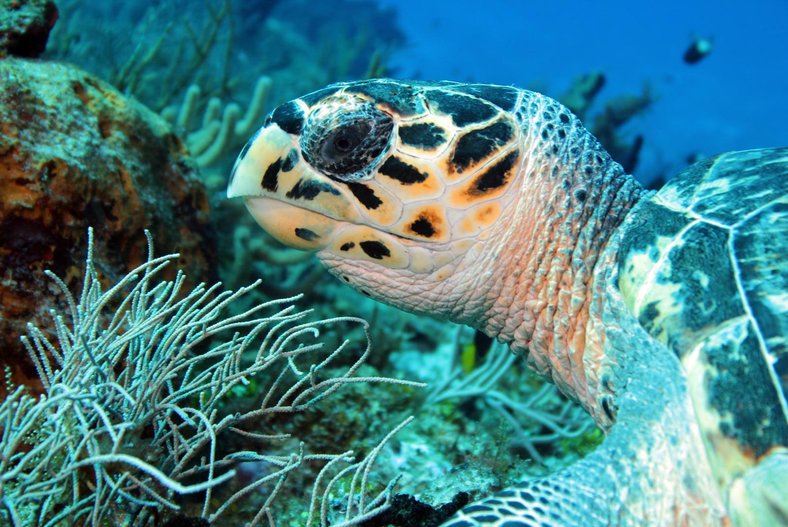 foto van reuzenschildpad onder water bij koraal