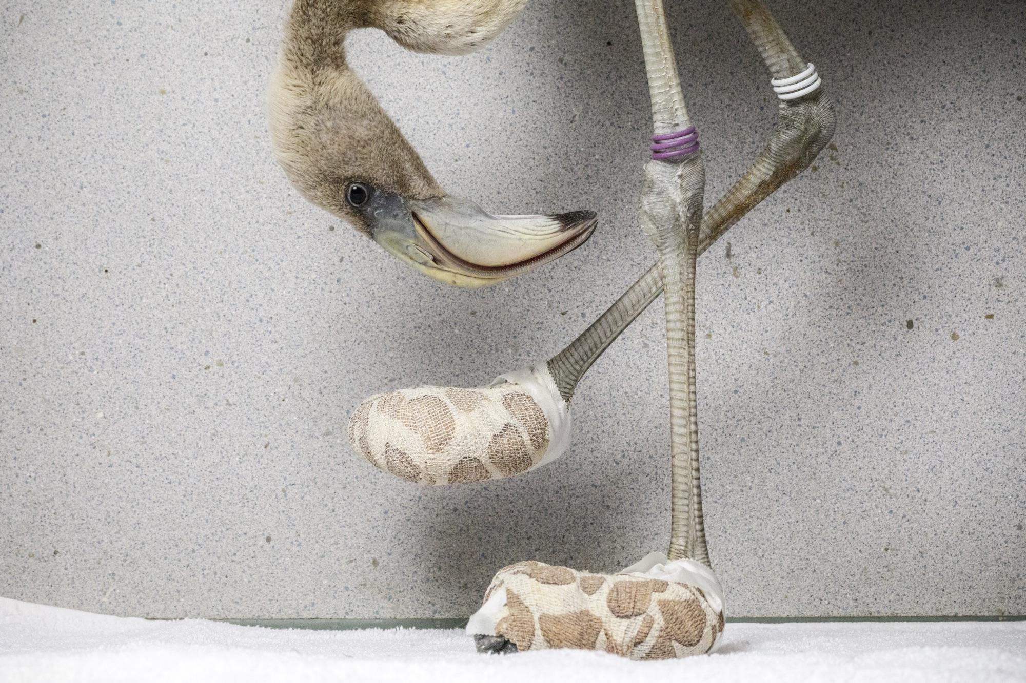 foto van een Caribische flamingo die de geïmproviseerde sokken inspecteert die zijn gemaakt om de ernstige voetlaesies te genezen