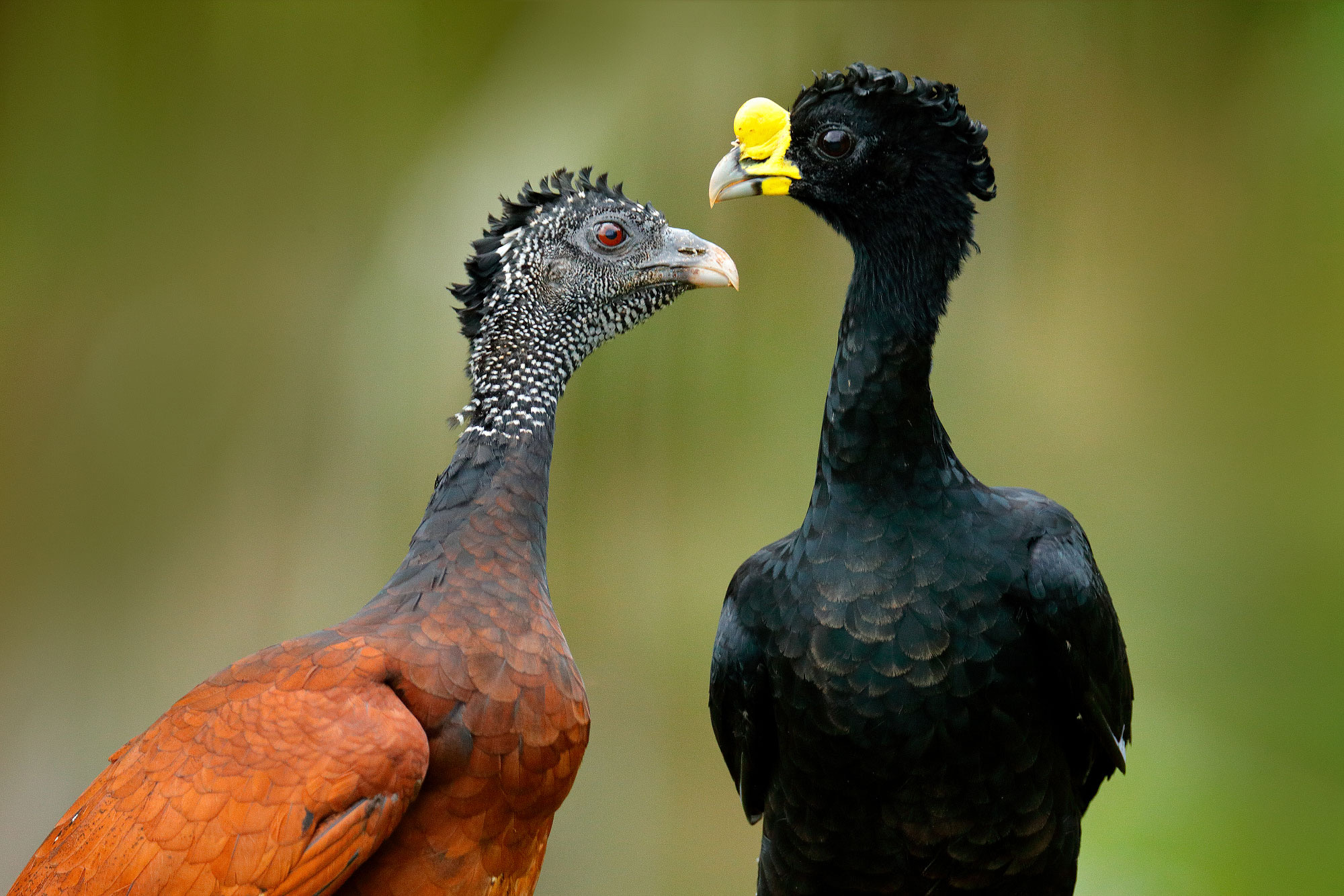twee vogels zwart met gele snavel