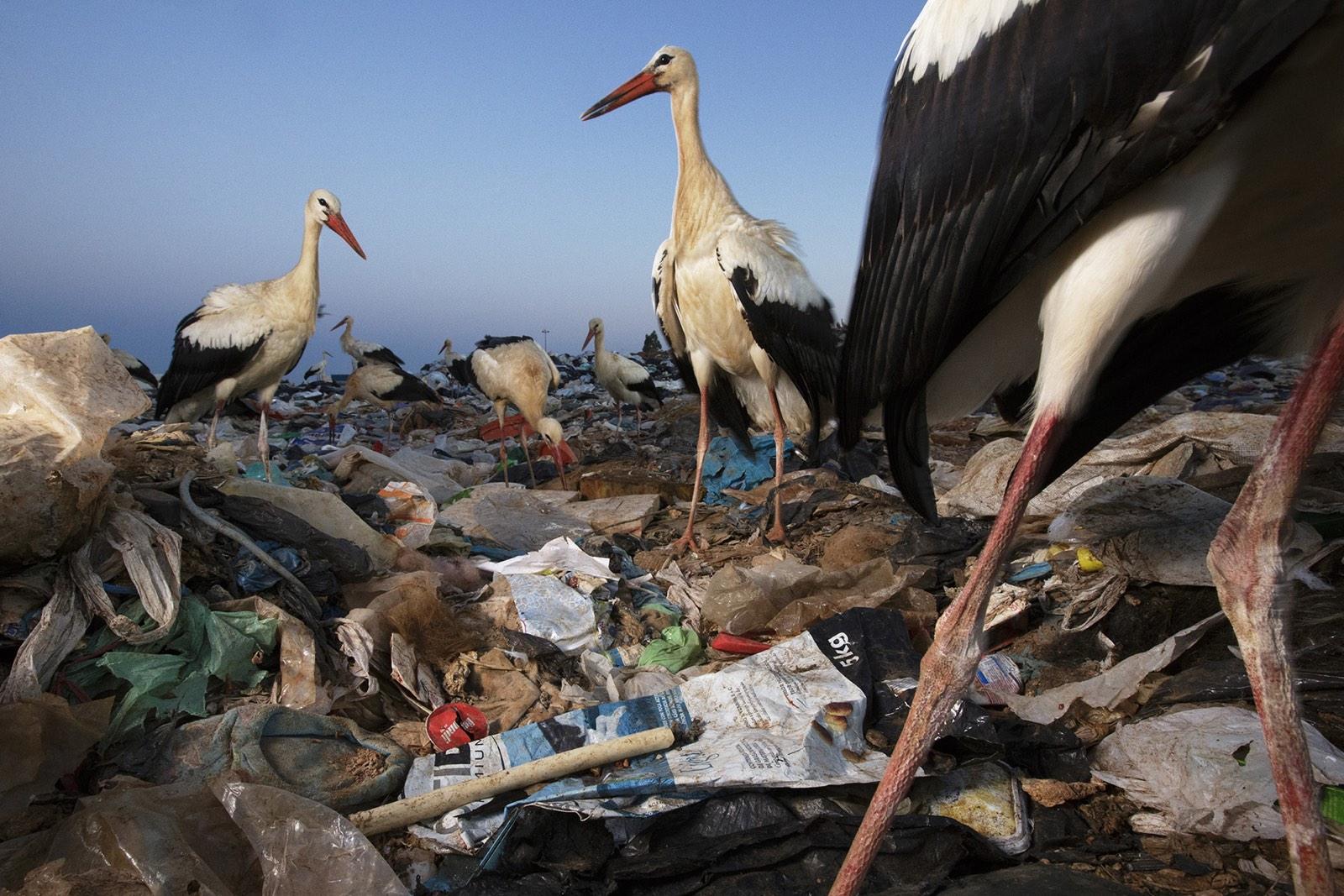 foto van Jasper Doest van ooievaars op vuilnisbelt