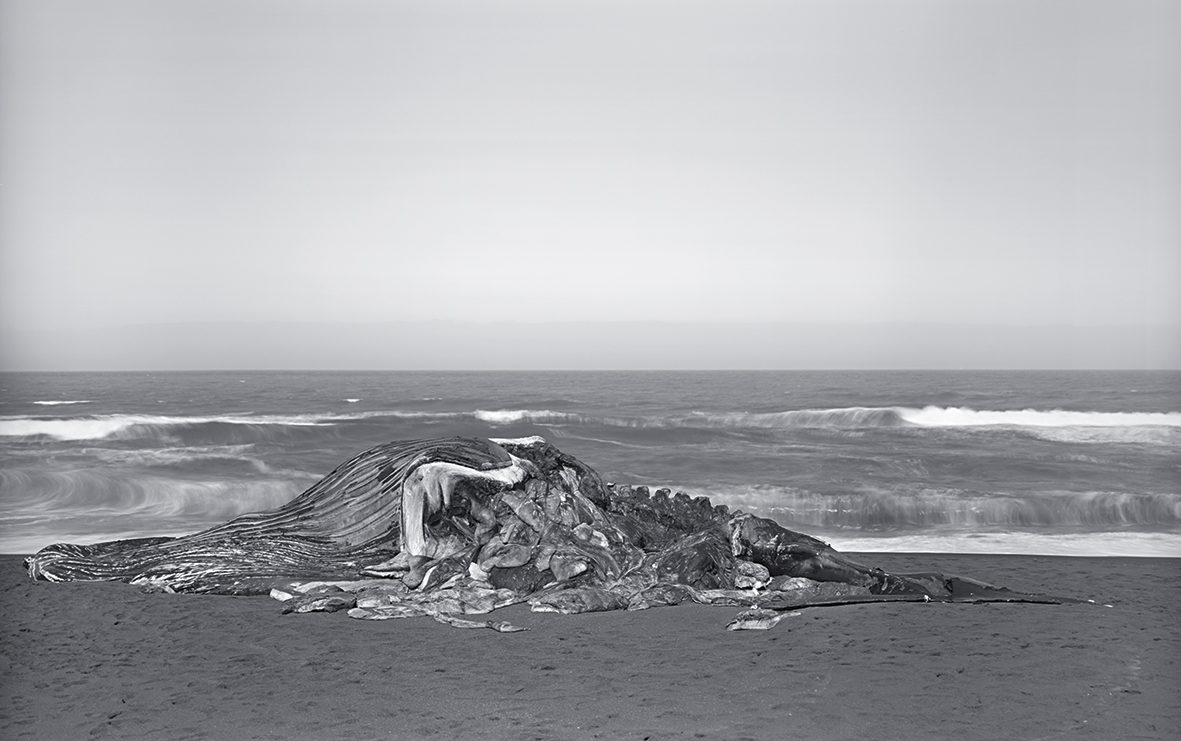 foto: © Richard Learoyd - Whale, Pacifica 2015